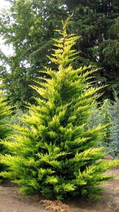 Купрессоципарис Лейланда Кастлевелан Голд (Cupressocyparis leylandii Castlewellan Gold) желто-зеленая хвоя, устойчивая к болезням, живая изгородь, хвойные деревья, нетребовательны