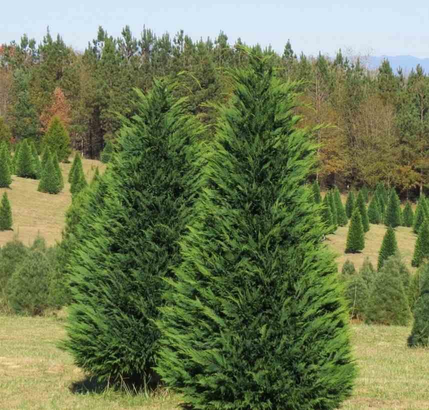 Купрессоципарис Лейланда (Cupressocyparis leylandii) живая изгородь, хвоя зеленая, хвойные деревья, крона конусовидная, нетребовательны