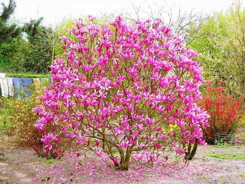 Магнолия Сюзан (Magnolia Susan) Красивоцветущие растения, магнолия