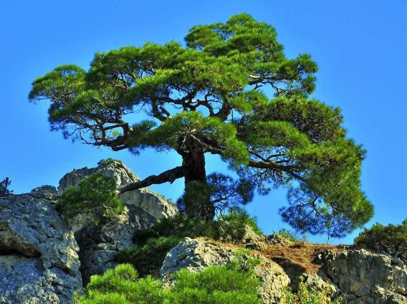 Сосна черная Палласа (Pinus nigra Pallasiana)