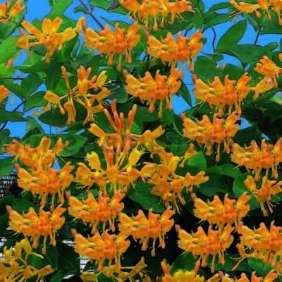 Жимолость Тельмана Красивоцветущие растения, декоративный кустарник, лианы