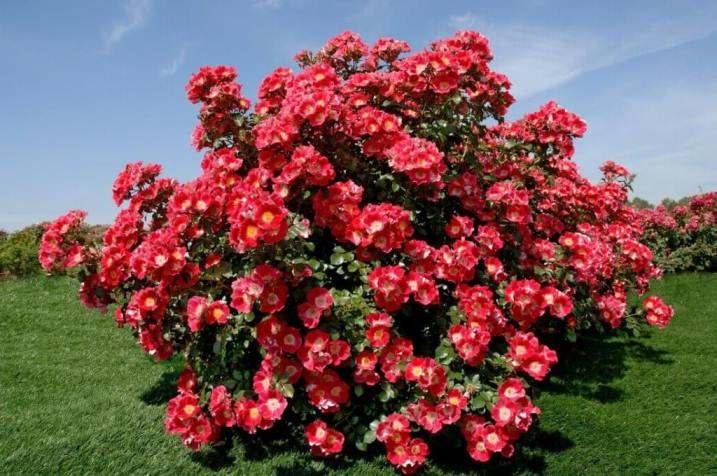 роза в цвету