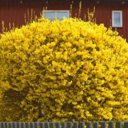 Форзиция (Forsythia intermedia)