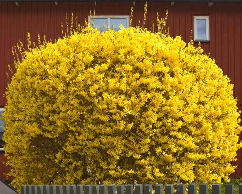 Форзиция (Forsythia intermedia) декоративный кустарник, нетребовательны, красивоцветущий кустарник, для городского озеленения