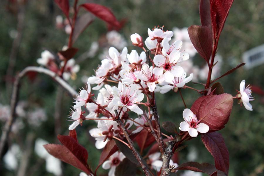 Слива карликовая (Prunus cistena)