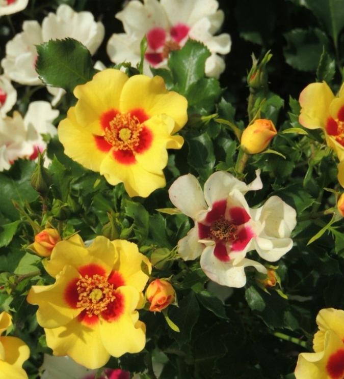 Роза Айконик (Eyeconic) с2 плетистые розы, повторноцветущие, устойчивая к болезням, двухцветные розы