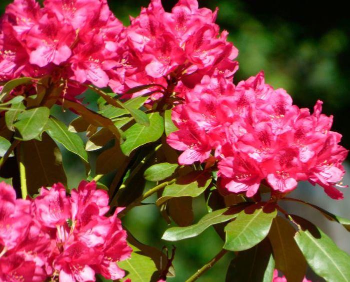 Рододендрон тупой (Rhododendron obtusum) Красивоцветущие растения, вечнозеленые, медленнорастущее