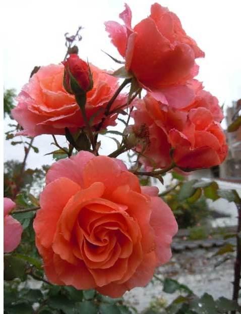 Роза Али Баба (Alibaba) с2 непрерывноцветущая, розовая роза, ароматные, плетистые розы