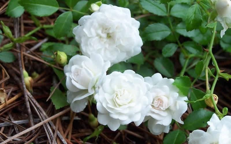 Роза Дрифт белый с2