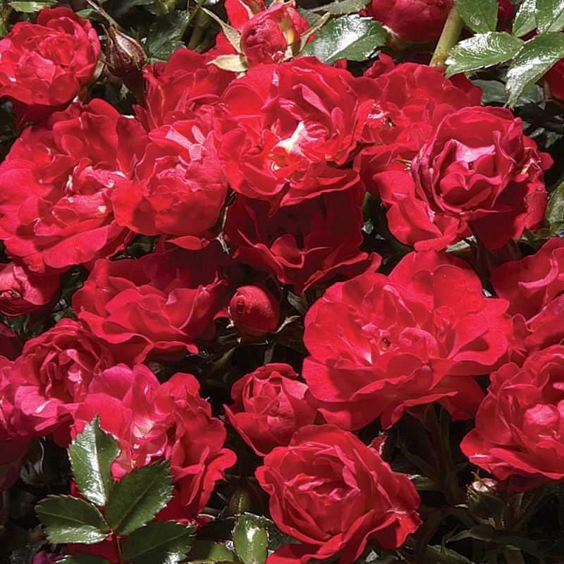 Роза Красный дрифт с2