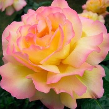 роза Глория Деи