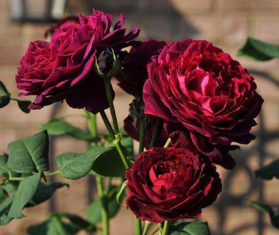 Роза Графиня фон Харденберг с2 ароматные, повторноцветущие, устойчивая к болезням, английские розы, бордовые розы