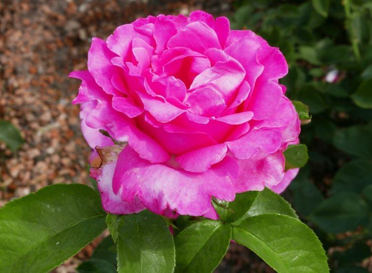 Роза Каприс дэ Мейян (Caprice de Meilland)