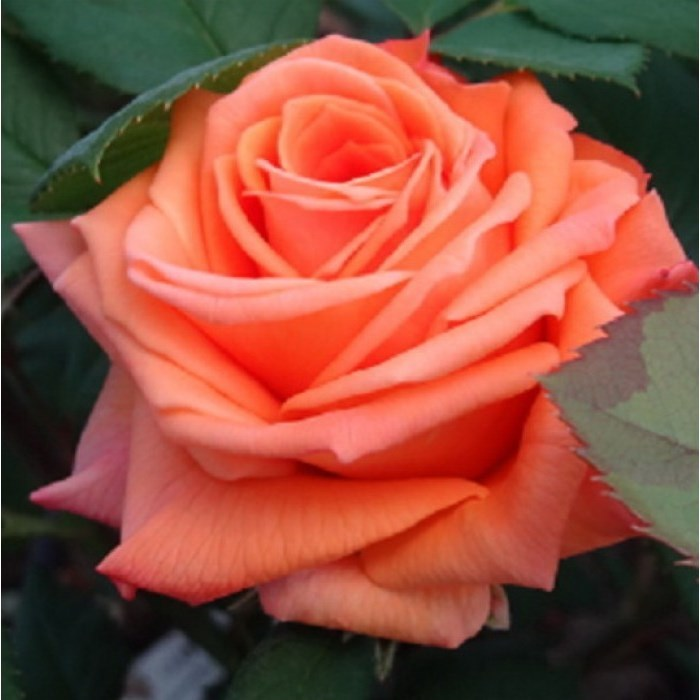 Роза Лоллипоп с2