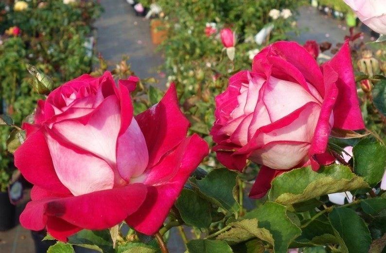 Роза Моника Белуччи с2