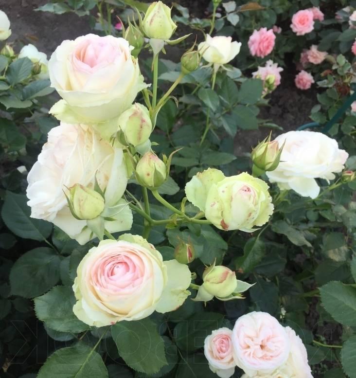 Троянда Пале Рояль (Palais Royal)