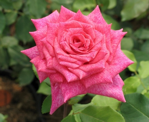 Роза Пьер Карден с2