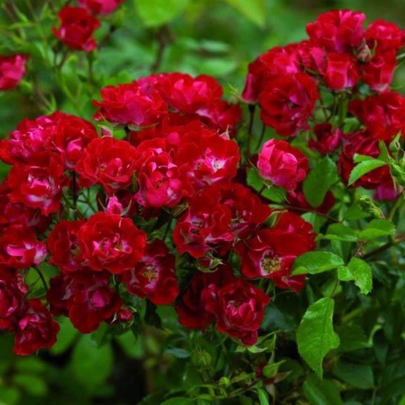 Роза Рамблинг Розье (Rambling Rosie)