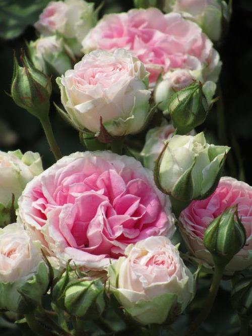 Роза Сезар (Cesar) розовая роза, устойчивая к болезням, шрабы