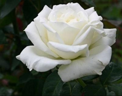 Роза Тиника с2