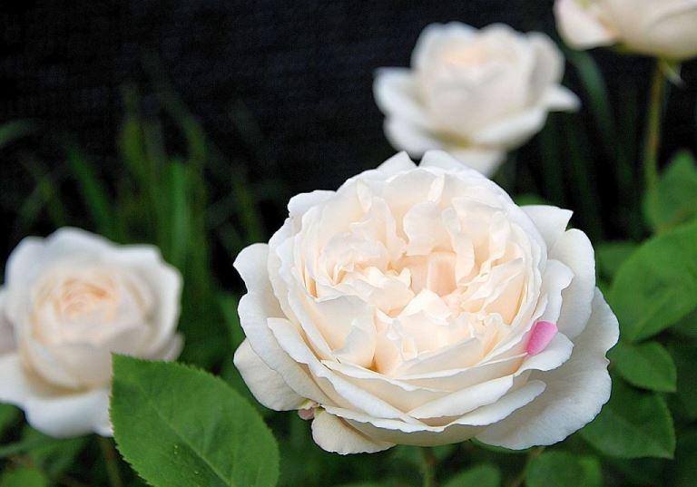 Роза Винчестер Катедрал с2 ароматные, белые розы, английские розы