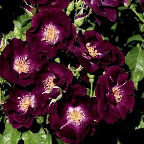роза Миднайт Блю