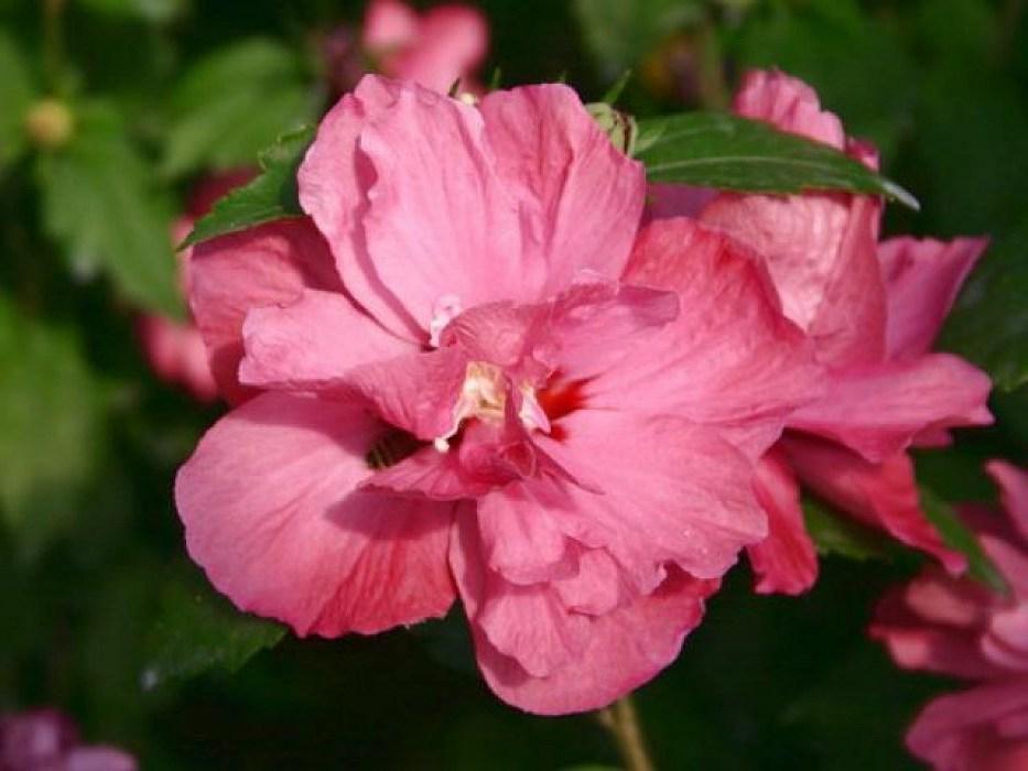 Гибискус Дюк де Брабант (Duc de Brabant) Красивоцветущие растения, гибискус