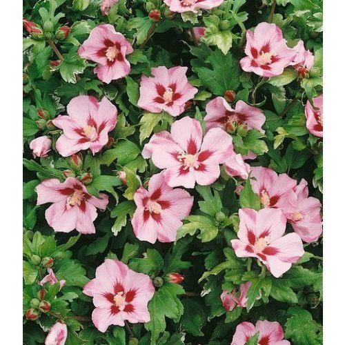 Гибискус Матильда (Mathilde) Красивоцветущие растения, гибискус