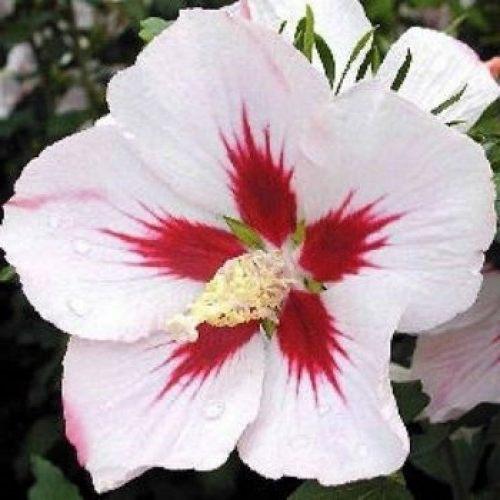 Гибискус Монстросус (Monstrosus) Красивоцветущие растения, гибискус, лиственный кустарник