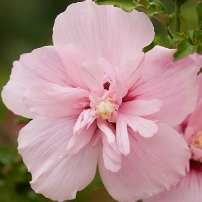 Гибискус Пинк Шифон (Pink Chiffon) Красивоцветущие растения, гибискус, лиственный кустарник, декоративный кустарник
