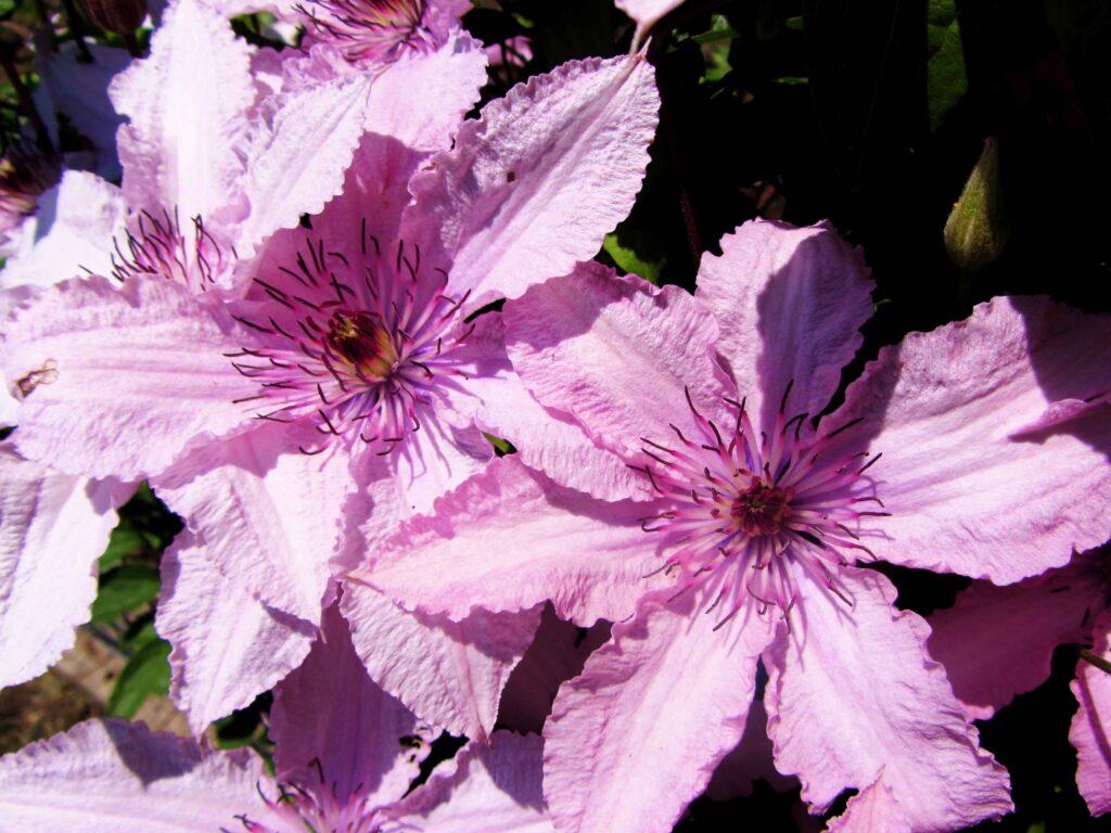 Клематис Хегли Гибрид (Hagley Hybrid) лианы, вьющиеся растения, клематисы