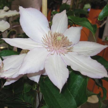 Клематис Нина (Nina) вьющиеся растения