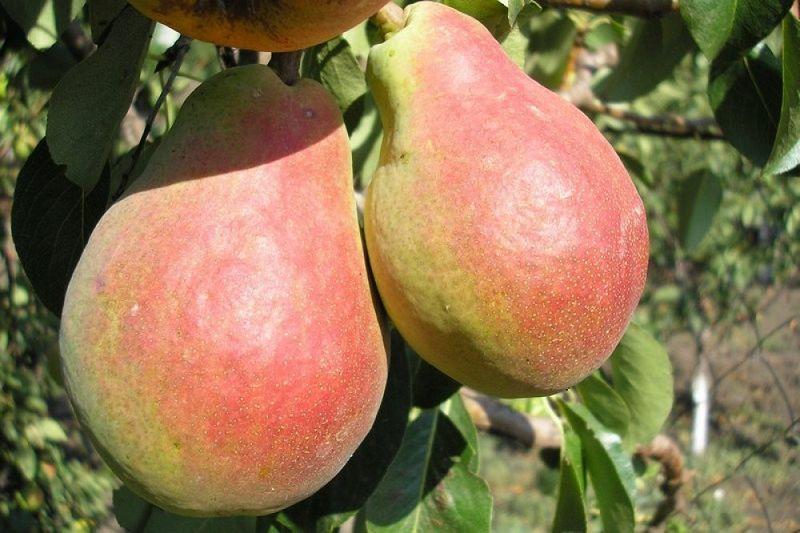 Груша Силк Кинг раннеспелые плодовые, груши
