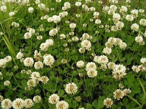 Клевер белый Ривендел газон, травы