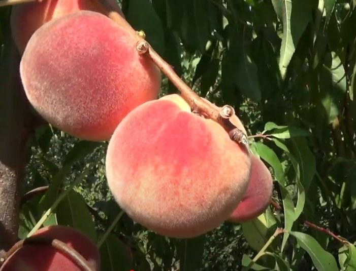 Персик Алиросада средний срок созревания, персик, беломясый сорт