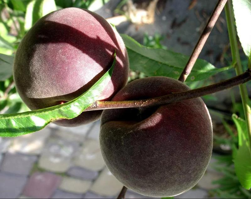 Персик Эритрокарпа поздний срок созревания, персик, эксклюзив, красномясый