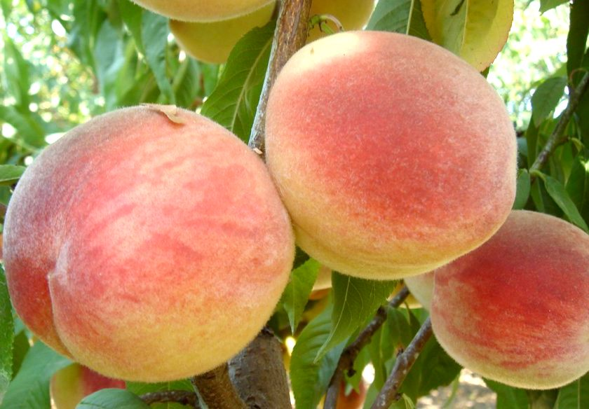 Персик Кондор раннеспелые плодовые, персик