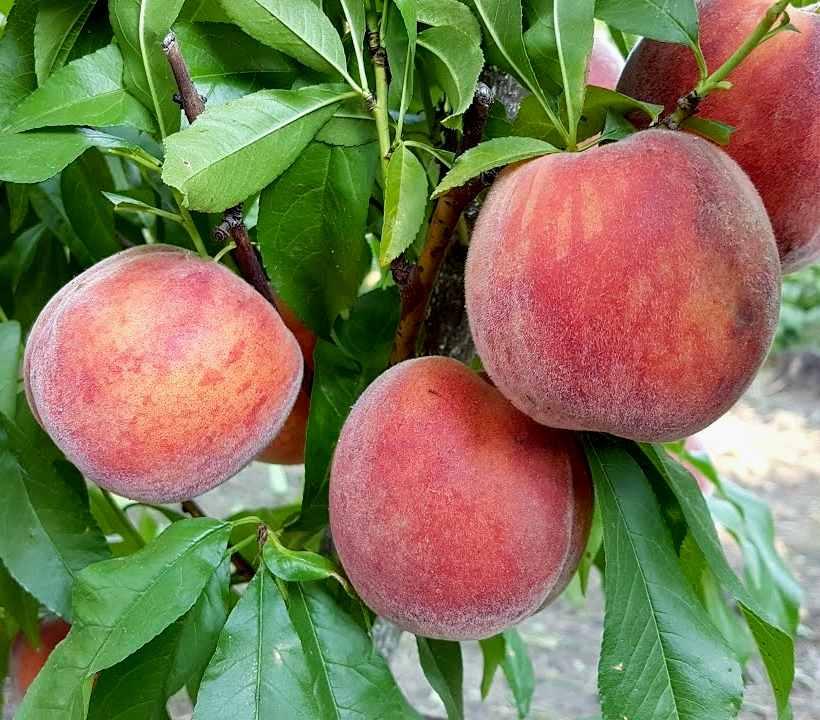 Персик Рубин Принц раннеспелые плодовые, персик