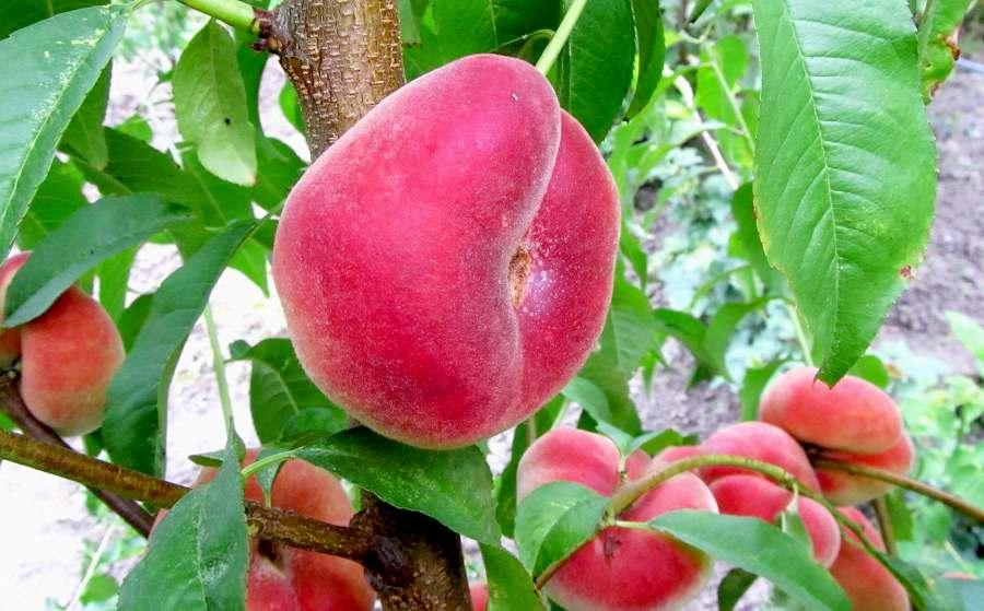 Персик  Сатурн средний срок созревания, инжирный персик, персик