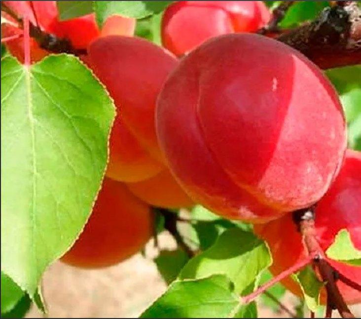 Абрикос Ред Тардив абрикос, крупноплодные, среднеспелый