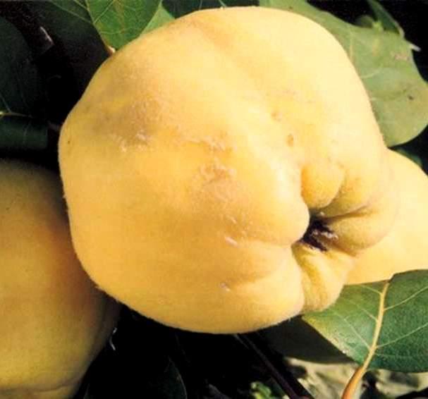 Айва Кубанская Урожайная