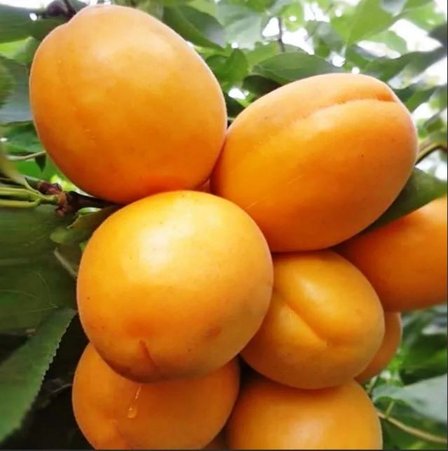 Абрикос Голд Рич абрикос, плодовые деревья, скороплодные, крупноплодные