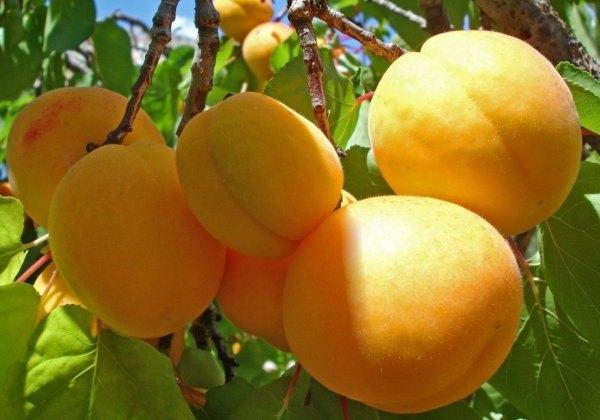Абрикос Персиковый абрикос, среднеспелый, высокоурожайный