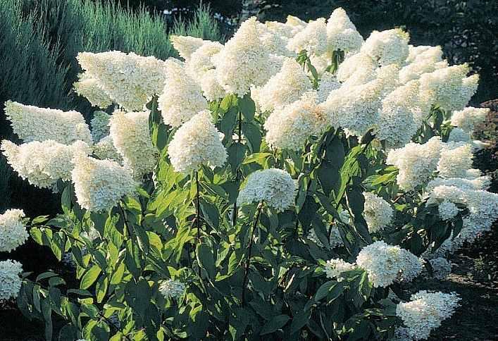 Гортензия Грандифлора Красивоцветущие растения, красивоцветущий кустарник