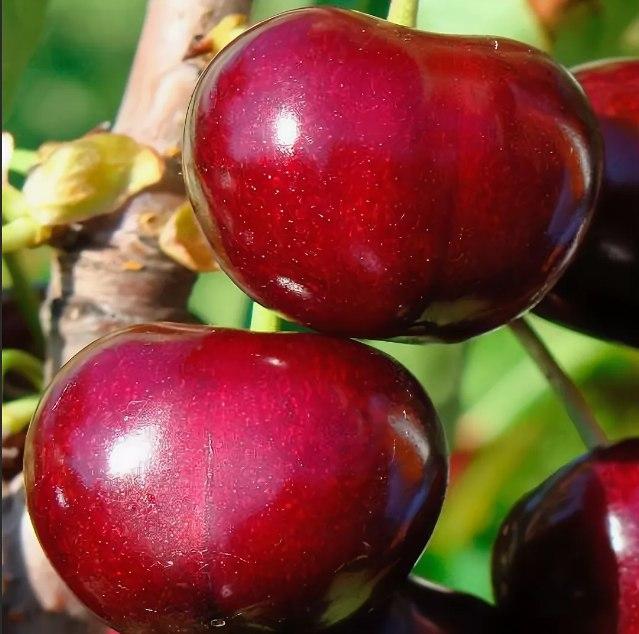 Черешня Джерело раннеспелые плодовые, черешня