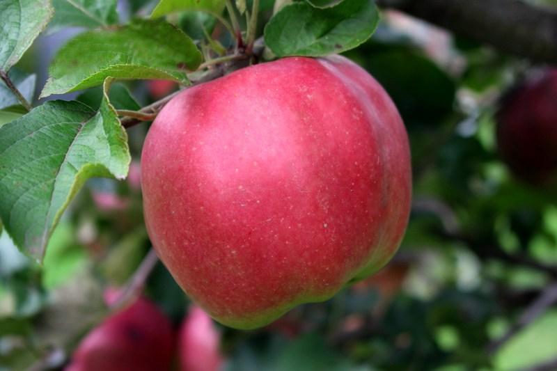 Яблоня Джумбо Помм скороплодные, крупноплодные, зимний срок созревания, яблони