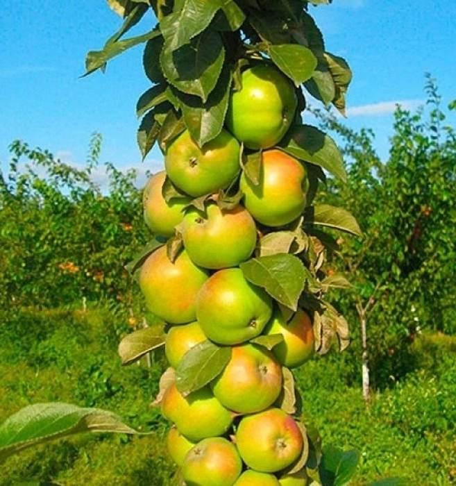 Яблоня колоновидная КВ-109