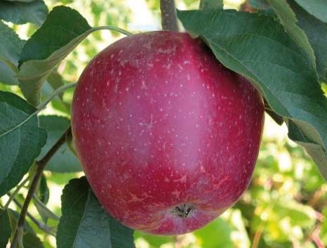 Яблоня Кадел