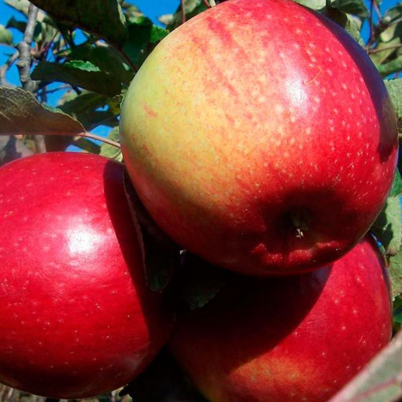 Яблоня Лигол крупноплодные, высокоурожайный, зимний срок созревания