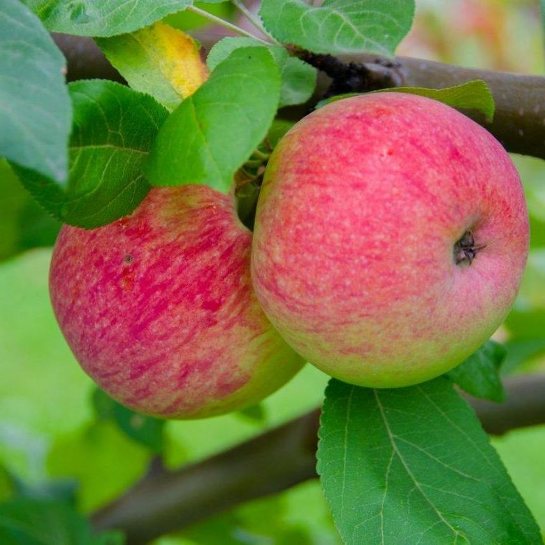 Яблоня Мельба скороплодные, высокоурожайный